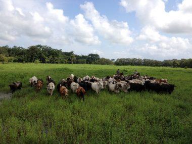 Tipos de ganadería en el Perú