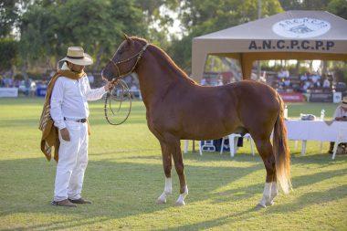 El caballo de paso peruano y la marinera
