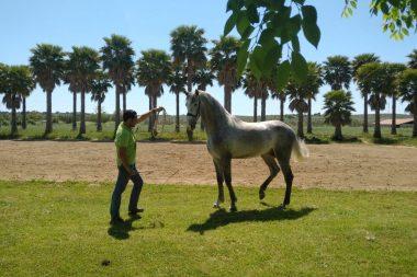 Fidel Sánchez Alayo - cuidados del caballo