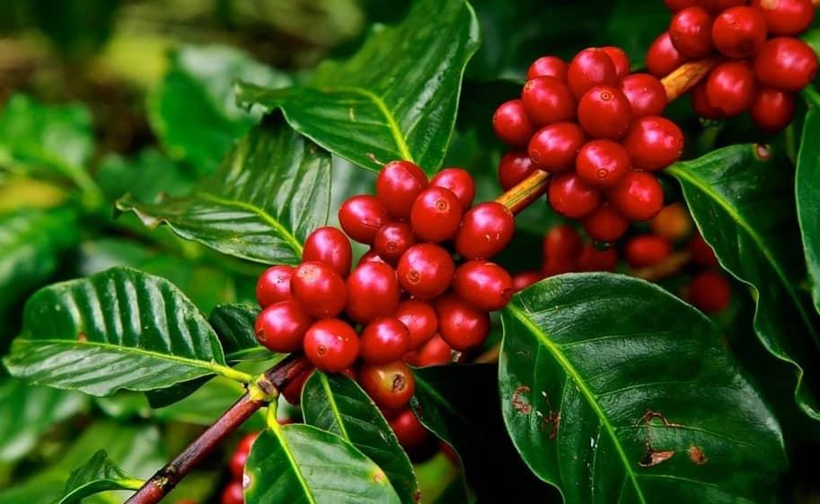 cafe organico peru