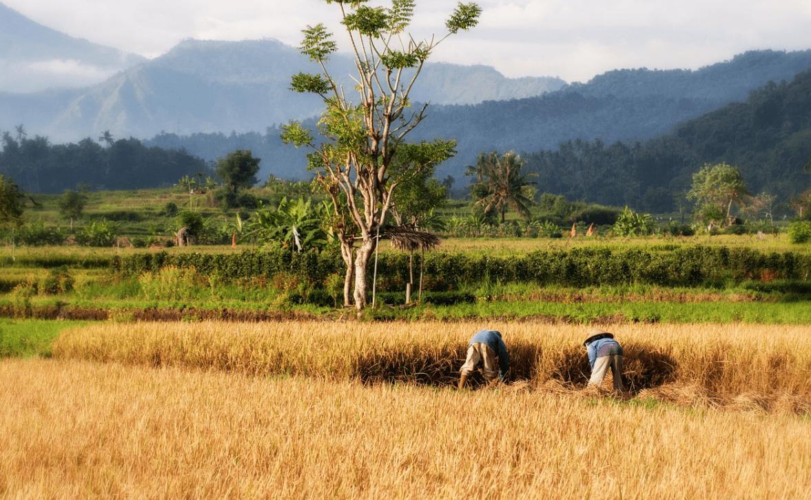 extensiva cultivo arroz
